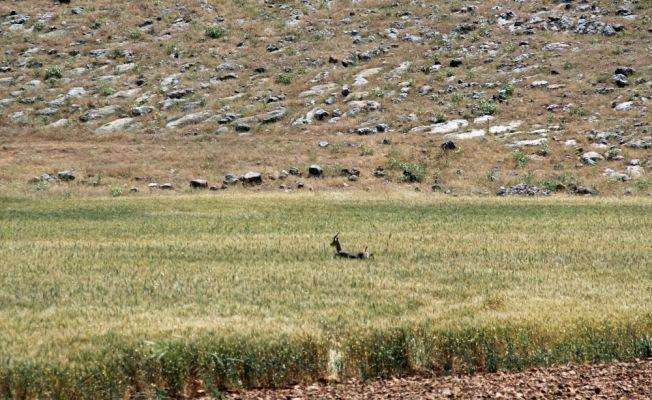 Koyunların arasına karışan dağ ceylanı yavrusu koruma altına alındı