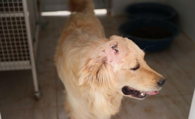 Başından silahla vurularak yaralanan köpeğe yardım eli
