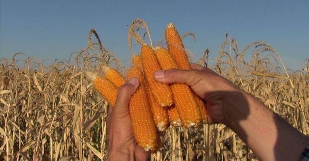 Elbistan'da 'cin mısırı' mesaisi başladı
