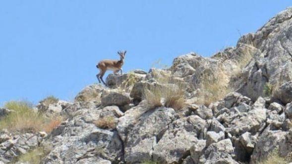 100 yıl sonra Elbistan'da görüldüler! Dağ keçilerine fotokapanlı koruma