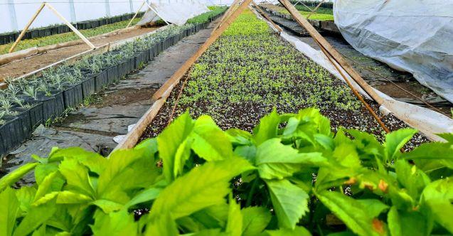 Elbistan Belediyesi 3 serada 20 farklı çeşitte, 200 bin çiçek yetiştiriyor