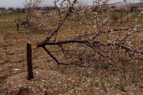Elbistan'da kayısı ağaçlarını tek tek kestiler! Jandarma çalışma başlattı...