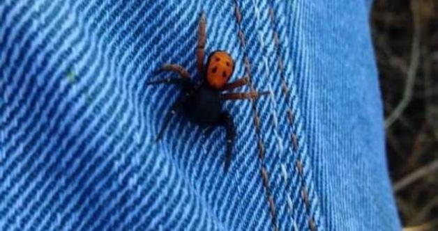 Afşin'de böylesi ilk defa görüldü! Zehirli ve saldırgan böceği çalışırken pantolunun içinde farketti