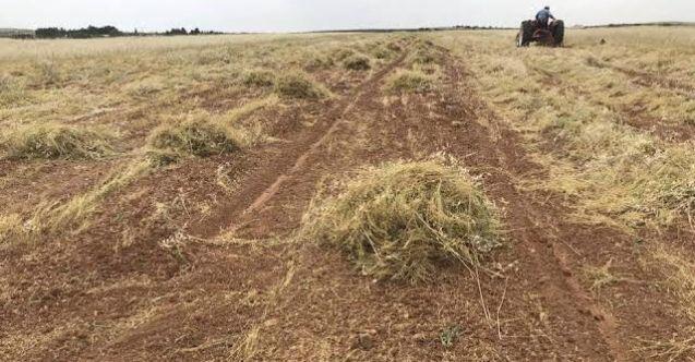 Şifa kaynağı mercimek için hasat başladı