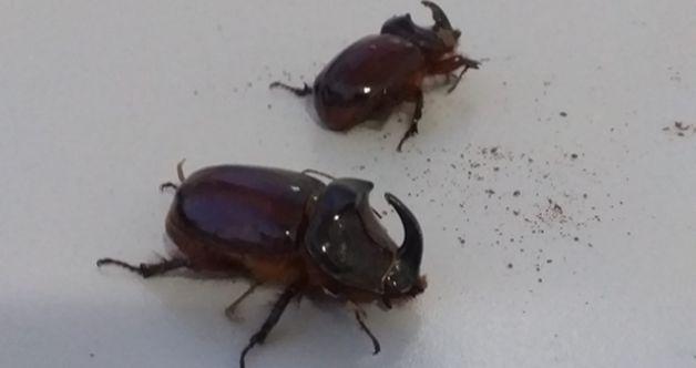 """Nadir görülen """"Gergedan Böceği"""" Elbistan'da görüntülendi"""