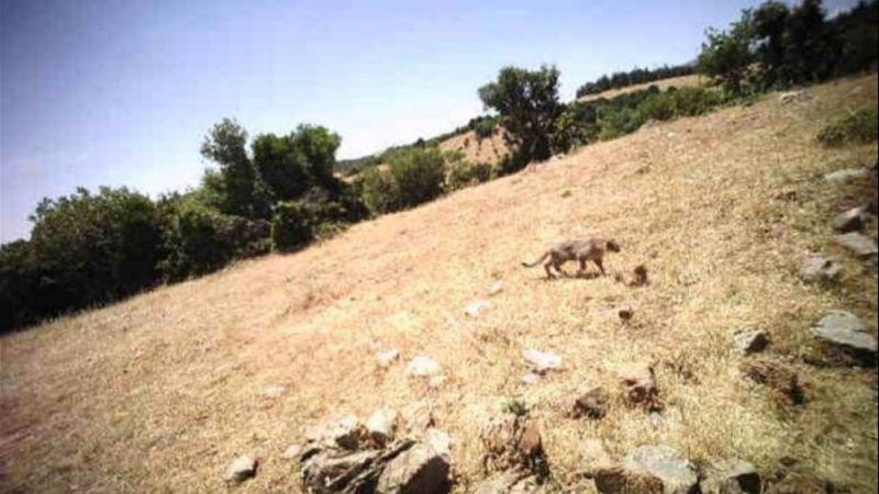 Türkoğlu'nda aslan endişesi: 6 hayvan telef oldu!