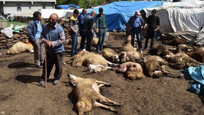 Kurtlar Sürüye Saldırdı: 22 Koyun Telef Oldu, 15'i Yaralandı