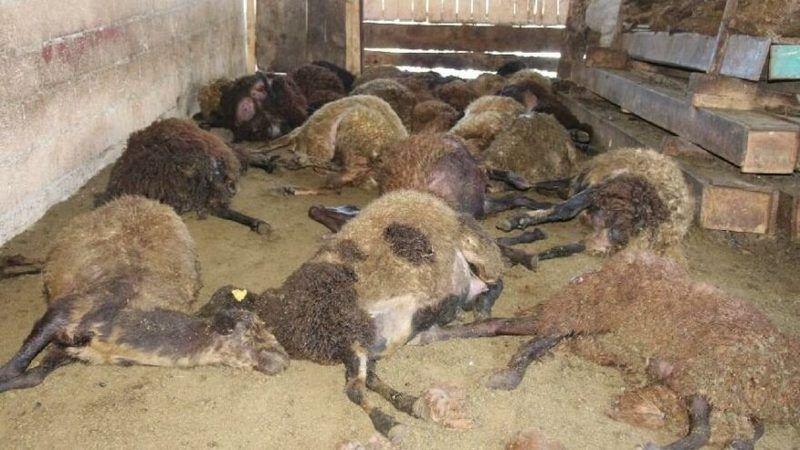 Kurt Ağıla Girdi, 110 Koyundan 40'ını Öldürdü