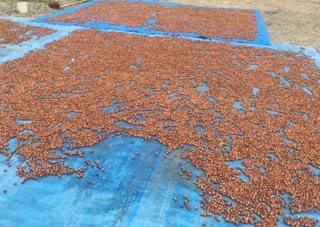 Giresun serbest piyasasında 2020 ürünü fındık, kilosu 22 liradan sezona başladı