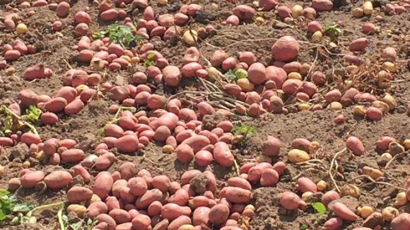Yayladaki tarlasında bir buçuk ton kırmızı patates hasadı gerçekleştirdi