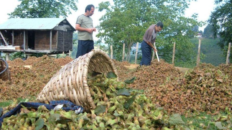 Giresun'da fındıkta 2021 ürünü rekolte tespit çalışmaları başladı