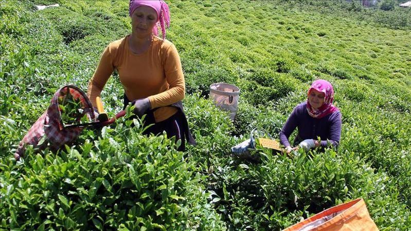 İlk İki Sürgünde En Yüksek Yaş Çay Alımını Gerçekleştiren Çaykur Rekor Hedefliyor
