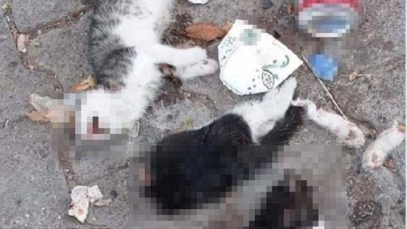 Şebinkarahisar'da 2 Kedi Öldürüldü Valilik İnceleme Başlattı