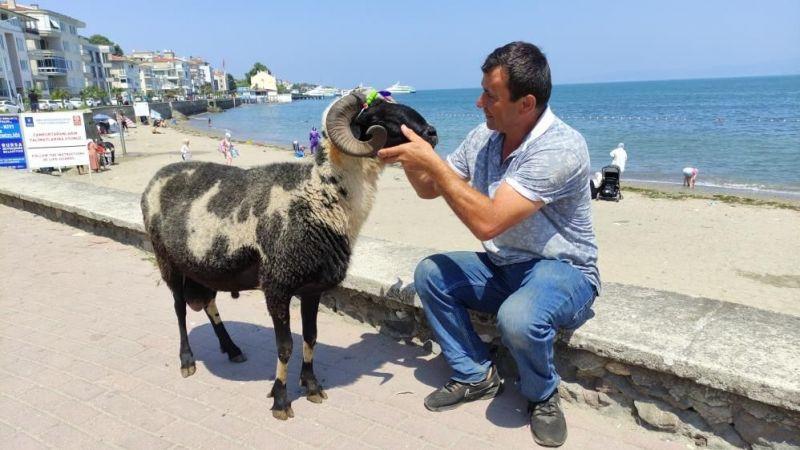 Koyunlarını kesmeden önce sahilde gezdiriyor