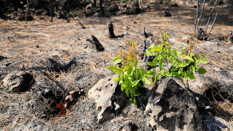 Yanan ormanlar canlanıyor, yeni bitkiler yeşerdi