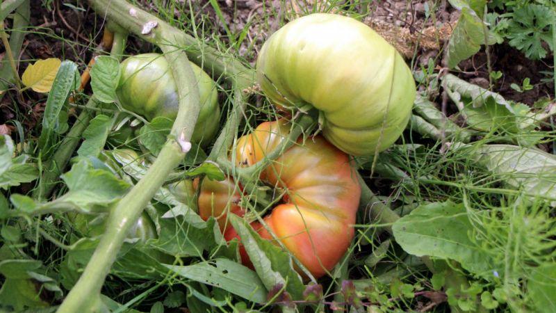 Yerli tohum hastalıklara karşı daha dayanıklı!