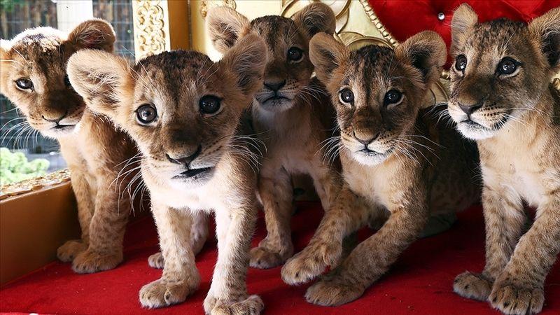 Yavru aslanlar ilgi odağı oldu