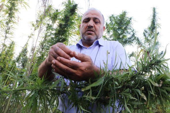 Yerli ve milli kenevirler hasat için gün sayıyor: Boyu 4,5 metreye ulaştı