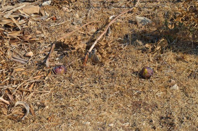 Zehirli incirle Keçi Sürüsünü Öldürmeye Çalıştılar