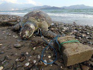 Deniz Kaplumbağası Parke Taşı Bağlanmış Halde Ölü Olarak Bulundu