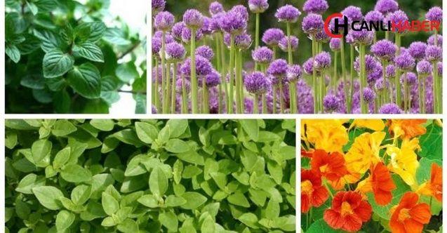 Bu bitkiler böcekleri evlerinize yaklaştırmıyor