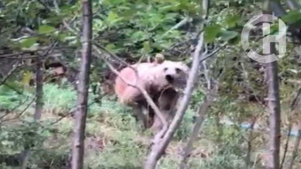 Gümüşhane'de mahalleye inen ayılar vatandaşları tedirgin ediyor
