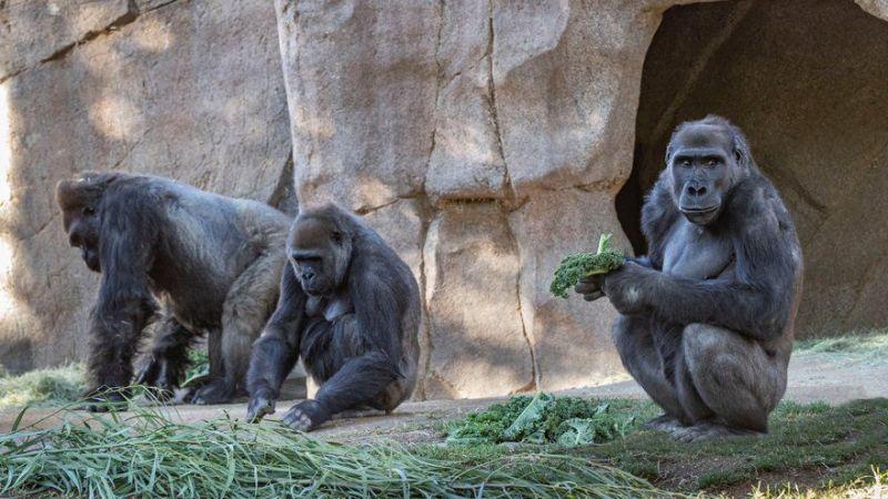 Gorillerin korona virüs testi pozitif çıktı!