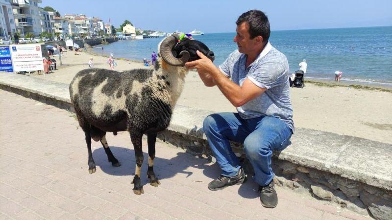 Koyunlarını kesmeden önce sahilde gezintiye çıkıyor