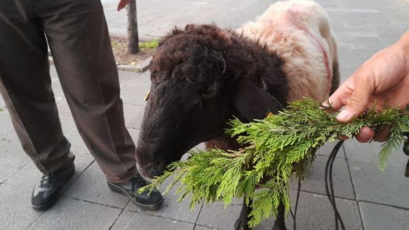 Kurbanlık koyun üç buçuk saat boyunca oturup kalkmadı, sahibi 'böyle hayvan görmedim' dedi