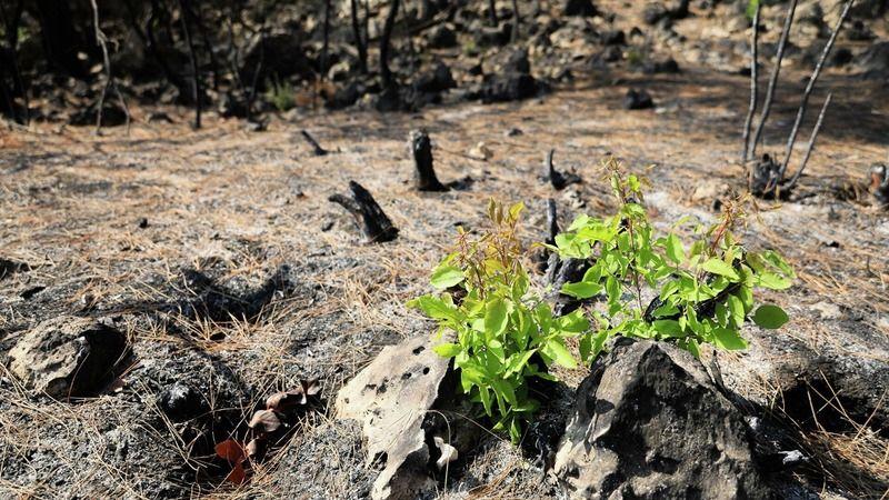 Orman yangınları nedeniyle zarar gören Manavgat ormanları yeşerme başladı