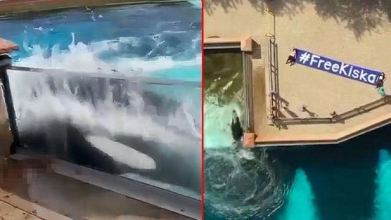 Dünyaca ünlü balina 'Kiska' intihara kalkıştı
