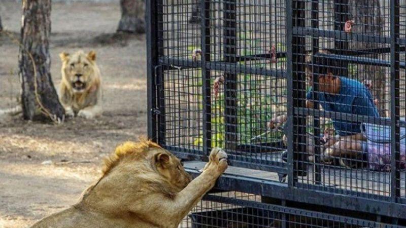 Antalya'da kurulan aslan safarisine hayvanseverlerden tepki geldi