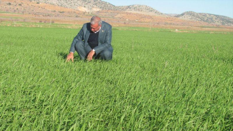 Araban Ovasında makarnalık sert buğday üretimi