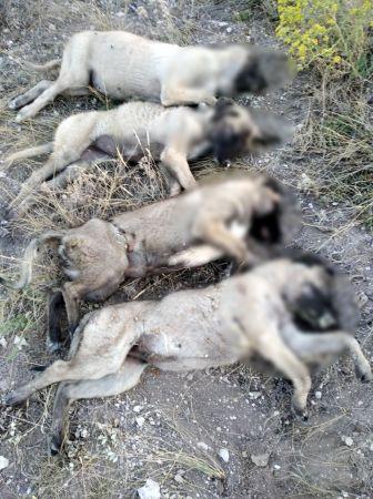 Ankara'da yan yana dizilmiş köpek ölüleri bulundu