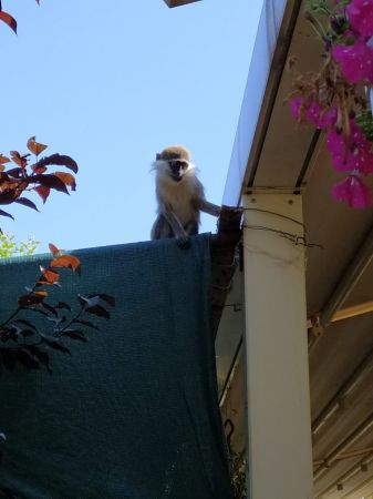 O hayvanat bahçesinden bu kez de maymun kaçtı