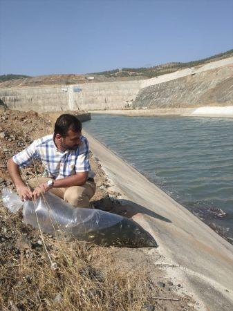 İslahiye ve Nurdağı'ndaki göletlere 70 bin sazan yavrusu bırakıldı