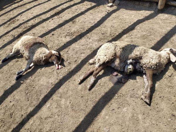 Koyunlarını yemlemek için girdiği ağıldaki manzara ile şoka girdi