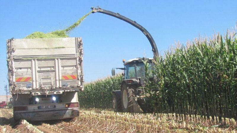 Araban Ovası'nda silajlık mısır hasadına başlandı