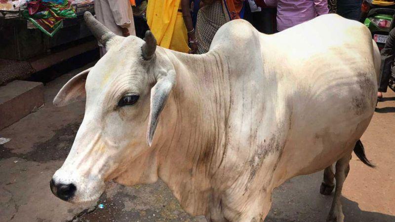 Keşmir'de Kurban Bayramı'nda inek, buzağı ve deve kesmek yasaklandı