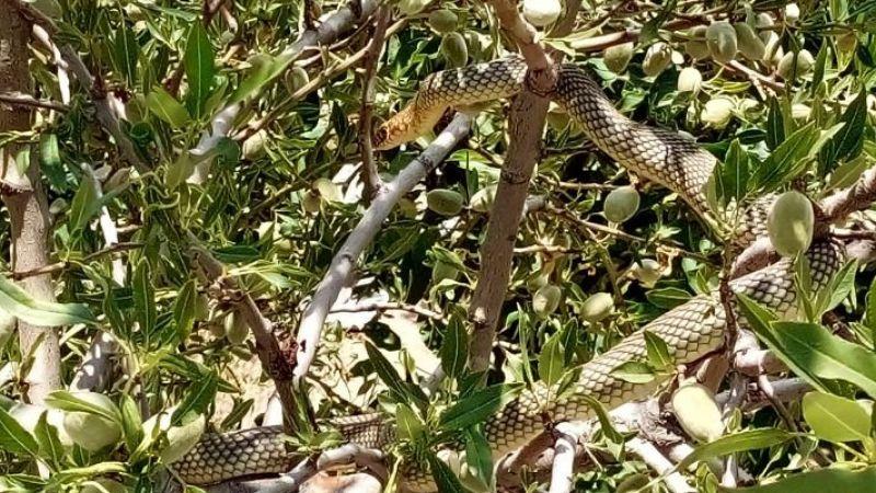 Ağaca dolanan dev yılan korkuttu
