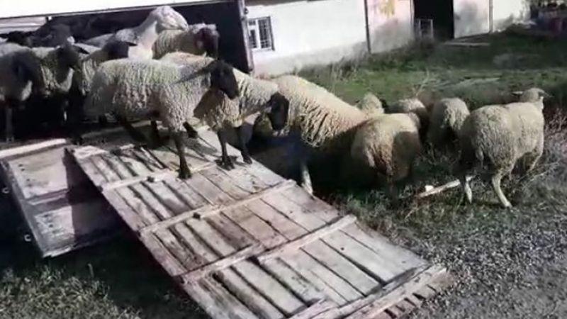 Koyun hırsızı kıskıvrak yakalandı