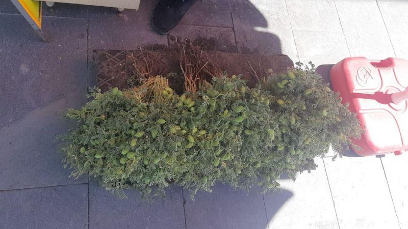 Yeşil nohut satışları başladı