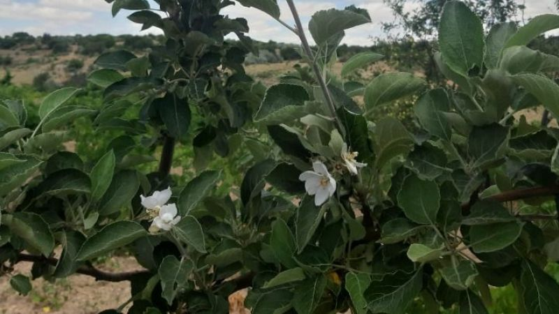 Bu mevsimde elma ağacı çiçek açtı