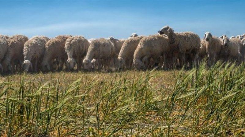Çiftçi çobanlara isyan etti!