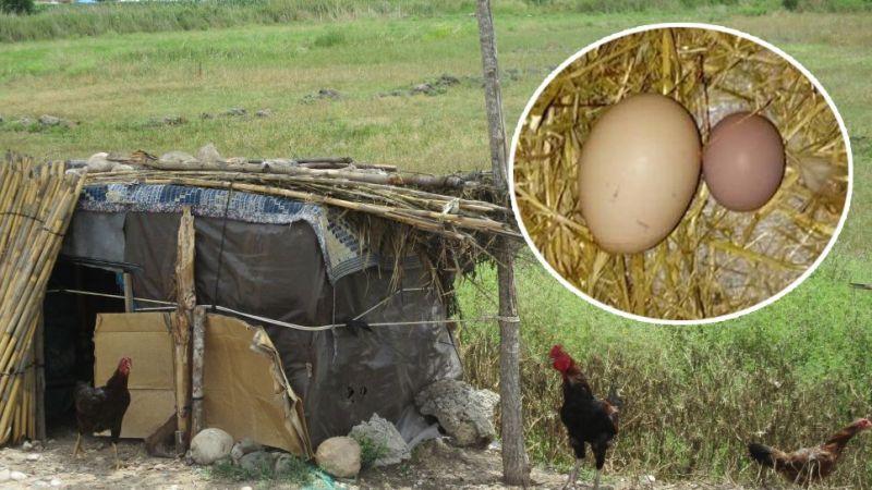 Nevşehir'de yumurtlayan horoz şaşırttı