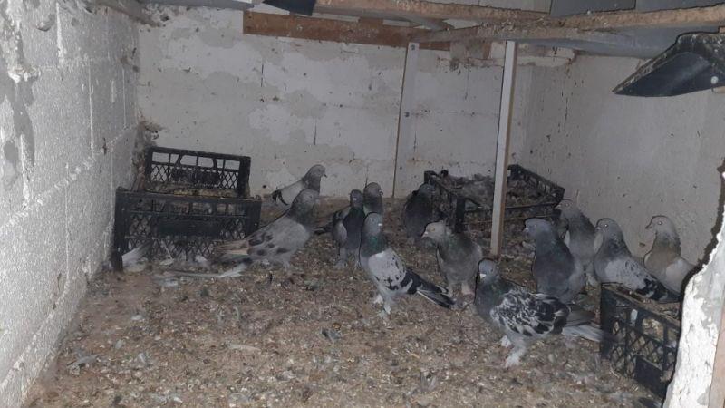 güvercin kümes