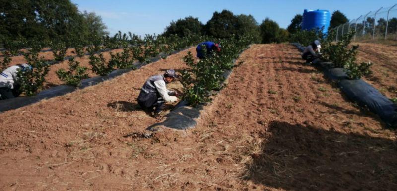İzmitli çiftçilere aronya fidanı dağıtılacak