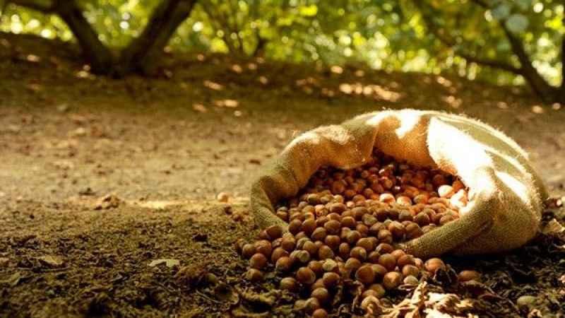 Fındık hasadı öncesi korkutan açıklama! Fındık fiyatları kaç lira?