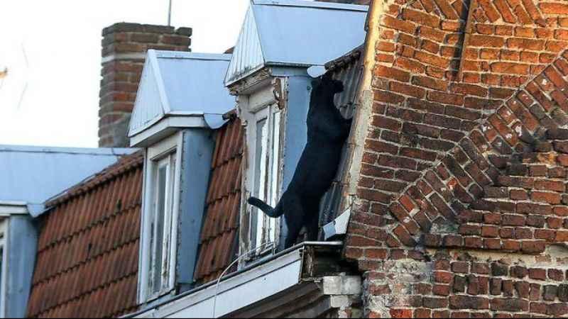 Çatıda gezinen kara panter, korku dolu anlar yaşattı
