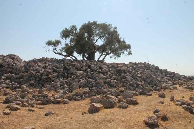 İki bin yıllık ağaç, zeytin vermeye devam ediyor.